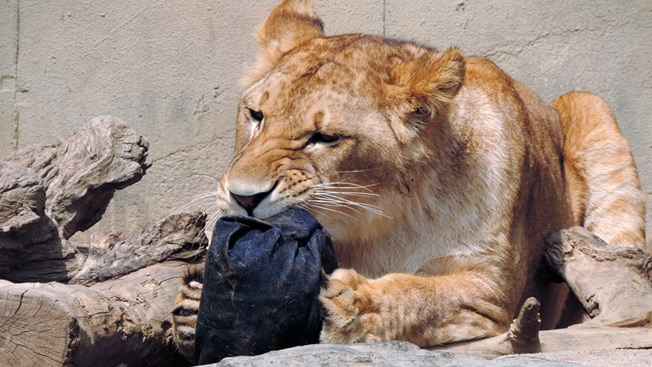 Zoo Selling Jeans Fashionably Ripped by Lions, Tigers and Bears